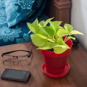 Rolling Nature Golden Pothos in Red Colorista Pot